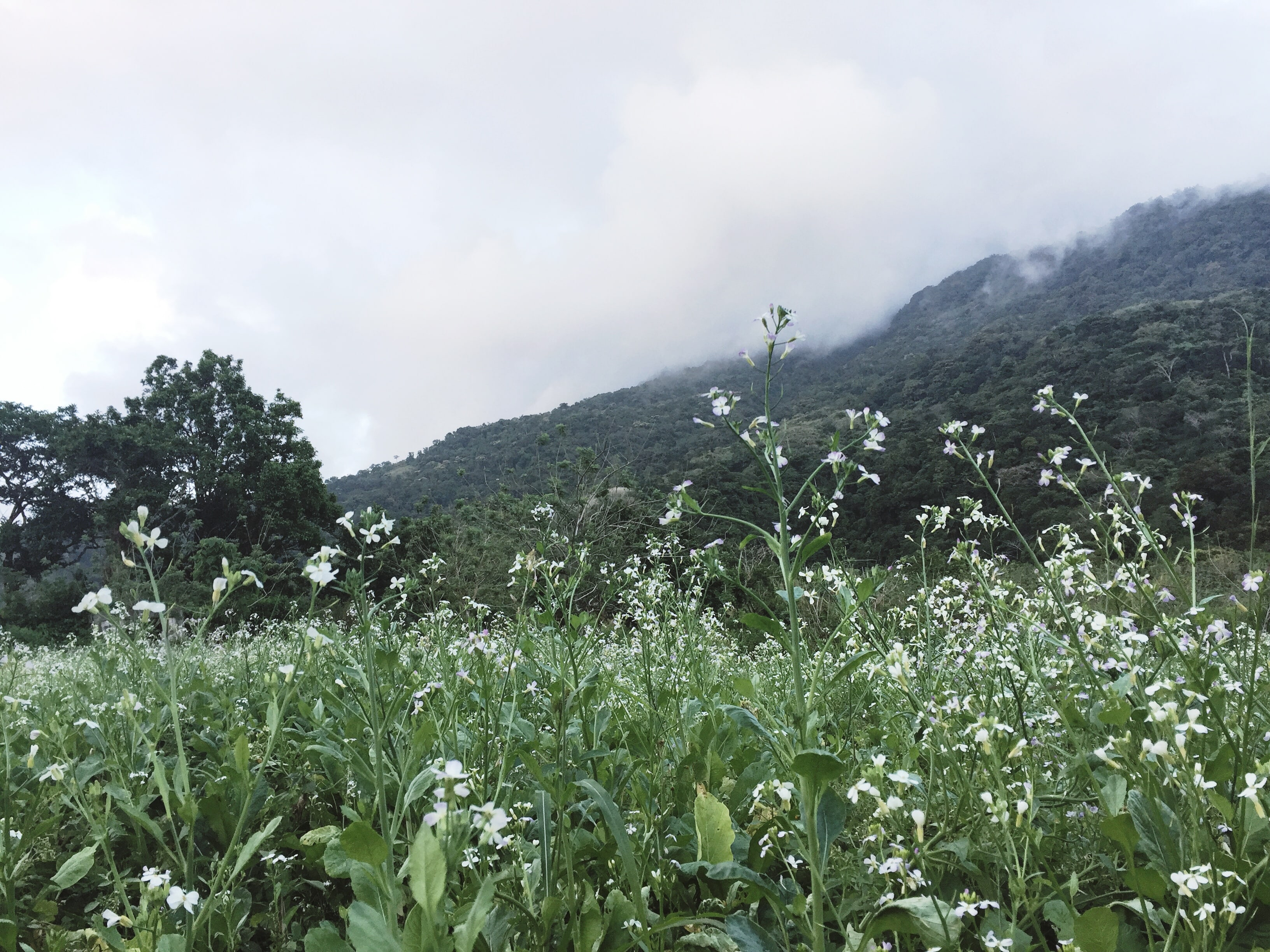 radish-flowers-bangkong-kahoy